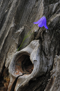 Harebell, kin to bluebells, on an old stump after the rain.  Near Silverton CO.