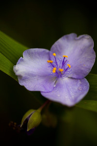 Lavender Spiderwort