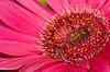 DSC_6636 spring flower gerbera daisy pink 2010 1