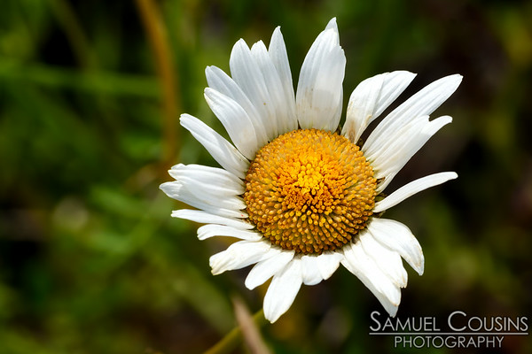 Daisy growing next to the railroad tracks.