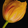 Tulip PAINTING x - Copyright 2015 Steve Leimberg - UnSeenImages Com A8437965