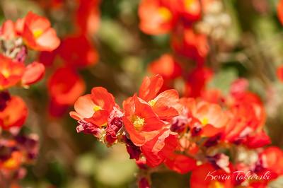 Desert Flowers, Moab, Utah