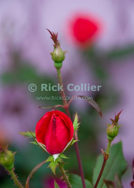 "Red rose bud.  Ocean Grove, New Jersey, USA<br /> <br /> <br /> USA ""New Jersey"" NJ ""Ocean Grove"" Ocean Grove sidewalk garden flowers flower red rose new bud"