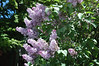 Lilacs: Flying Fingers