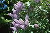 Lilacs: Flying Fingers
