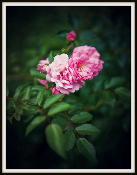 Roses 8 10 1