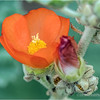 Indian Mallow...