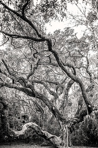 Great Oak Copyright 2021 Steve Leimberg UnSeenImages Com L1001204