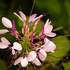 Purple Cleome in a Butterfly Garden