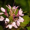 Purple Cleome in a Butterfly Garden