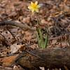 Daffodil - April 2008