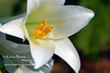 Late blooming Easter Lily<br /> Early May 2008