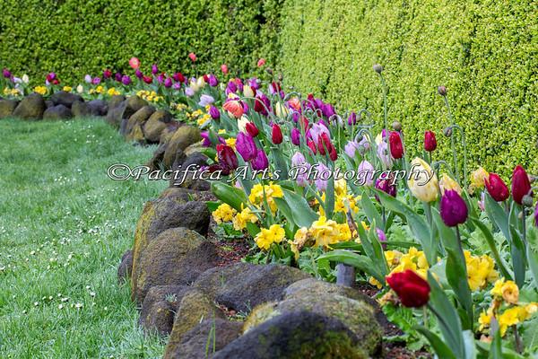 Queen Wilhelmina Tulip Garden near the Dutch Windmill in Golden Gate Park.