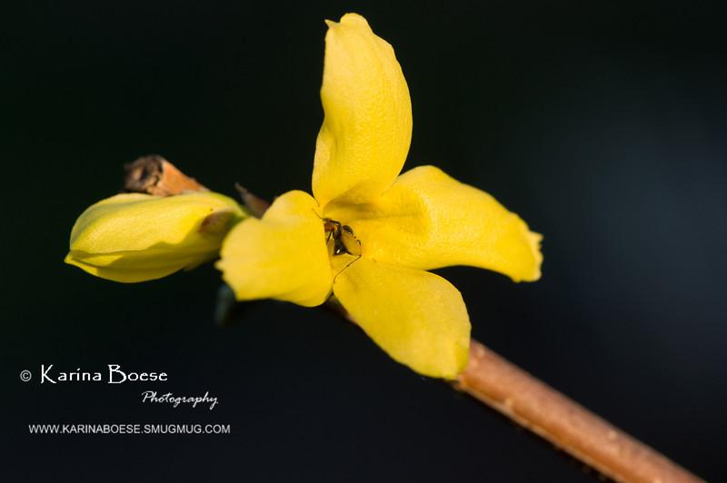 DSC_6627 spring flower iris blue macro SOOC 2010 1