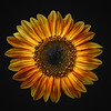 Sunflower on Black