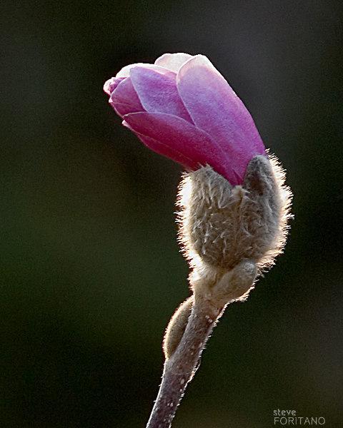 Star Magnolia Beginning.