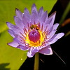 Purple Water Lilly with Honey Bee