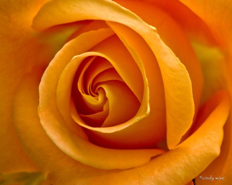 yellow rose of montana