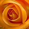 yellow rose of montana