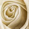 Fading White Rose - Copyright 2016 Steve Leimberg - II UnSeenImages Com 2016-12-13 18-19-52 (B,Radius8,Smoothing4)