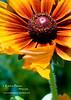 yellow daisy closeup flower cropped vibrant DSC_9683 1