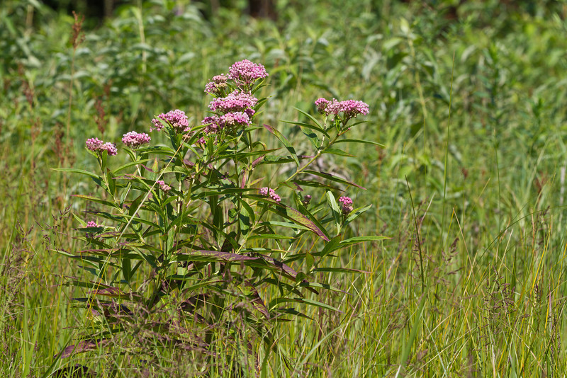 Swamp Milkweed - July 29, 2012