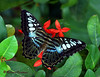 Malaysian Blue Clipper Butterfly