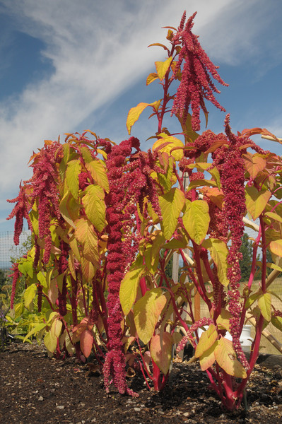 Amaranthus with long and short seed pods - August 17, 2009