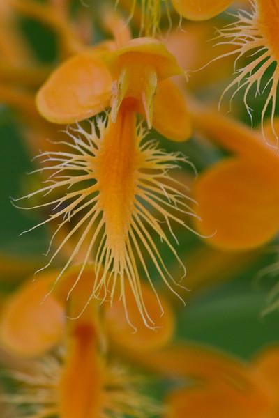 Orange fringed Orchid - July 21, 2012