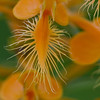 Orange fringed Orchid - July 21, 2012