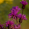 Ironweed - Wildwood Metropark - September 2008