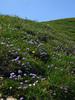 SwissWildflowers1