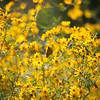 Flowers Yellow Field Blur