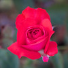 rosa roja dos