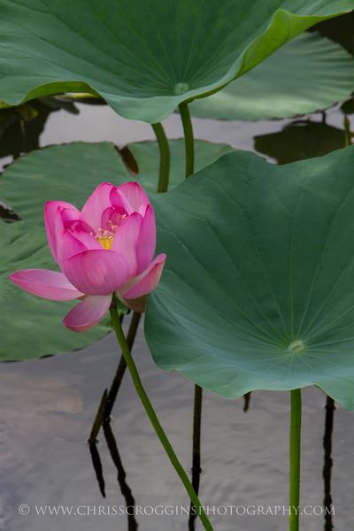 Pink Lotus 1