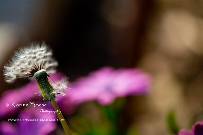DSC_7456 dandelion weeds macro 2010 1