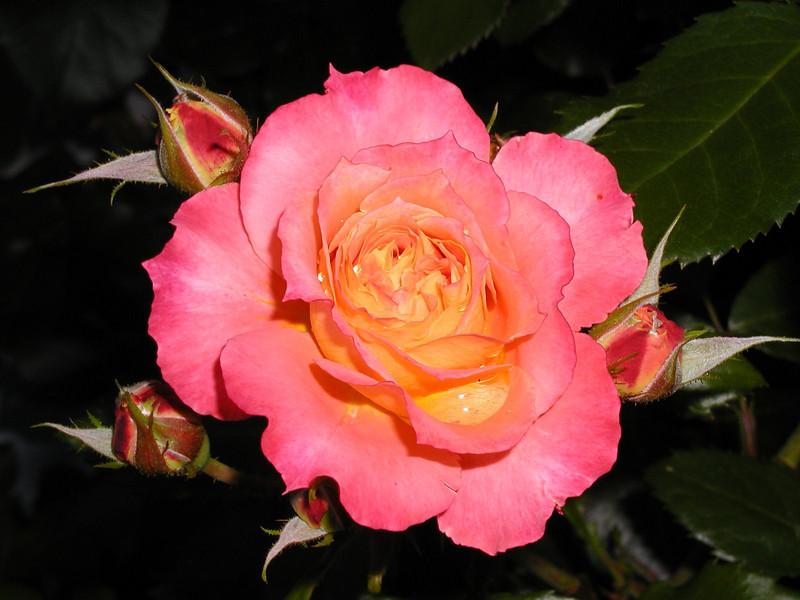 Spouter Rose, Camden, ME