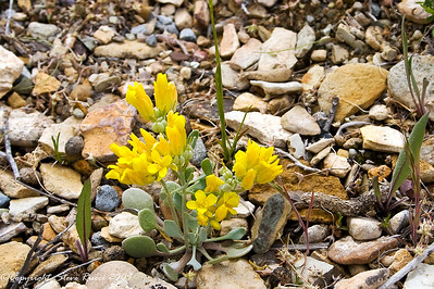 Wildflower in Firehole Canyon at Flaming Gorge National Recreation Area, Wyoming.