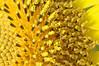 Macro Sunflower