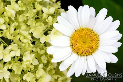 A daisy next to hydrangeas.
