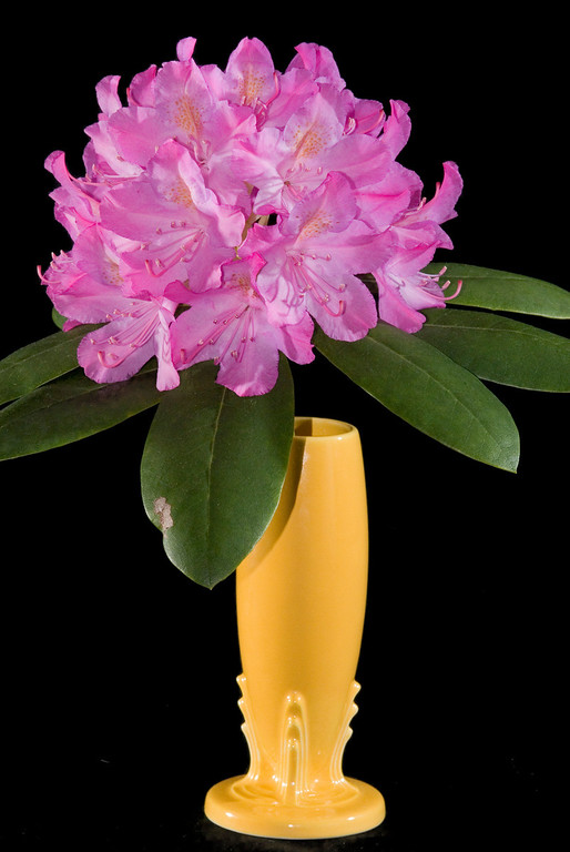 Open rhododendron
