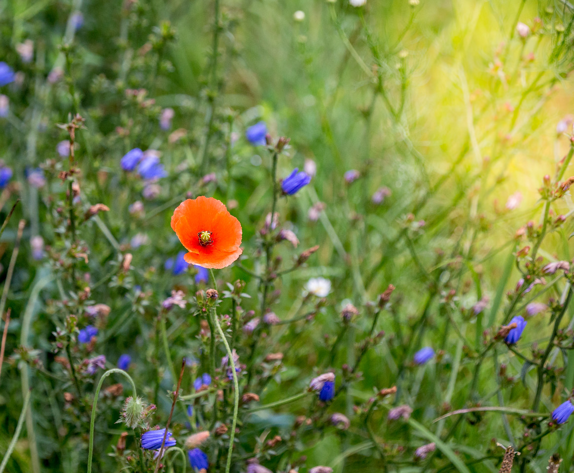 Poppy and Blue flowers
