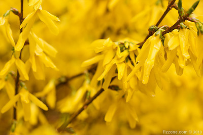 Forsythia X intermedia (Golden Bell)