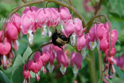 bee on bleeding hearts_9591