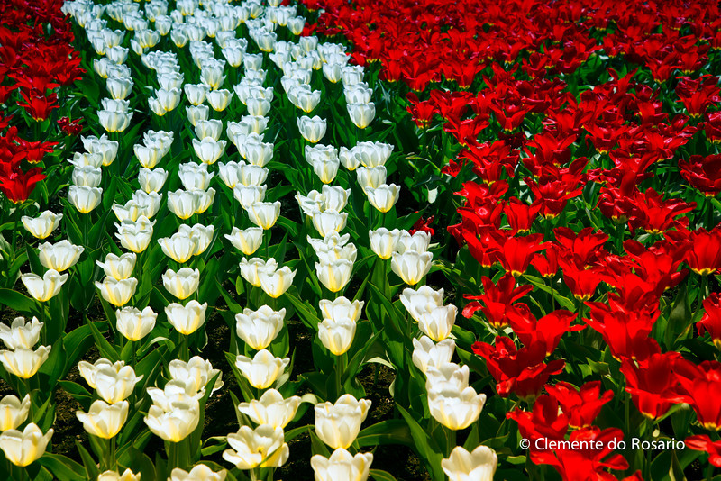 Tulips in bloom at Royal Botanical Gardens, Hamilton, Ontario, Canada