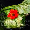 Red Flower - Copyright 2016 Steve Leimberg - UnSeenImages Com   _Z2A4055