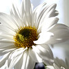 A white daisy catches sunlight on her face.