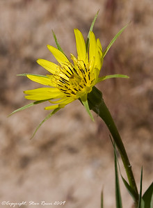 Wildflower - Dinosaur National Monument, Utah