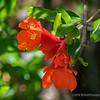 Pomegranate Blossoms...