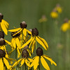 Gray-headed Coneflower - Ratibida pinnata - July 2007